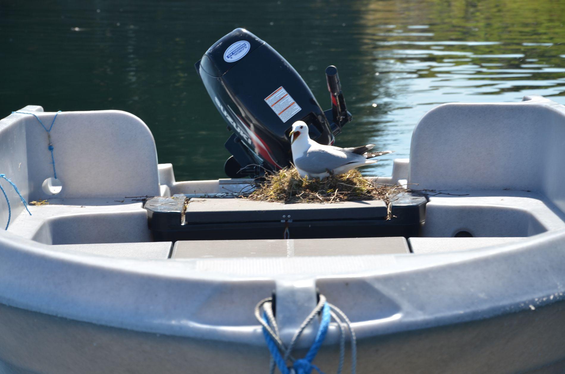 SETT PÅ MÅKEN: Her er en av fiskemåsene ved reiret i båten til Roald Laurantsen.