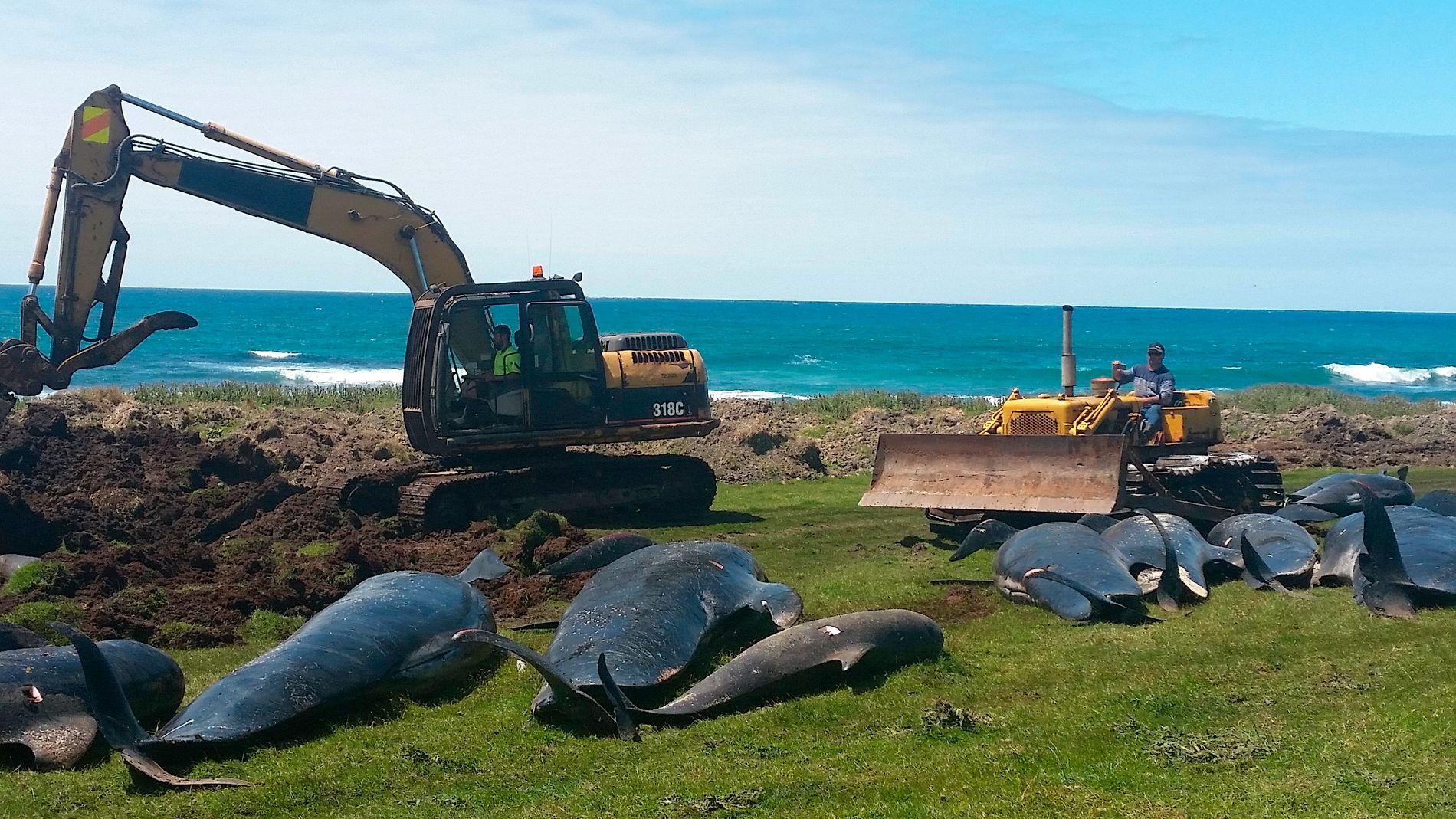 STRANDET: Arbeid med å fjerne de 51 grindhvalene som strandet fredag.