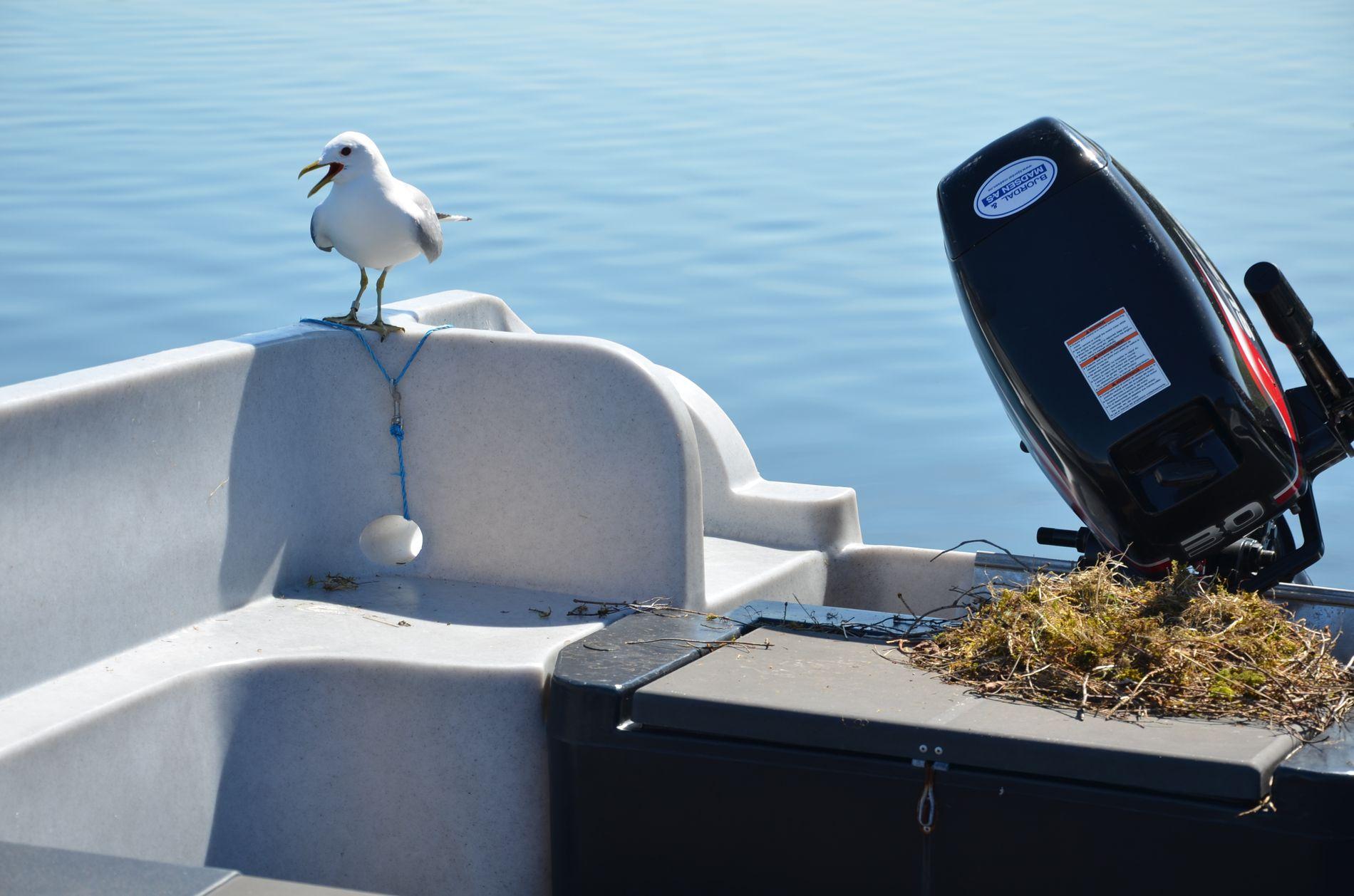 BÅTOKKUPANT: Fiskemåsen vokter over reiret i familien Laurantsens båt i Lindås. I pinsen måtte droppe båttur. Etter loven har de ikke anledning til å fjerne reiret.