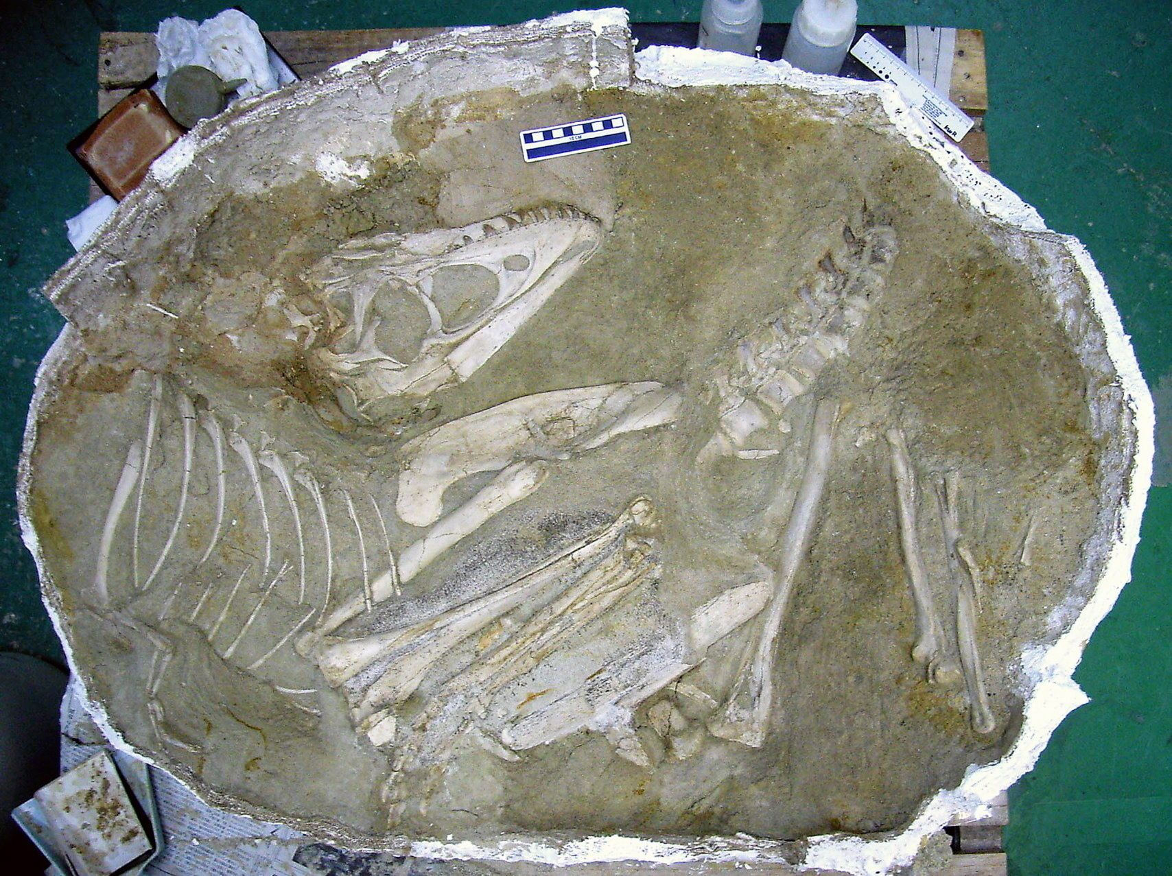 KOMPLETT PUSLESPILL: Fossile beinrester etter en ung dinosaur av arten Tarbosaurus som japanske forskere gravde ut t Gobiørkenen i Mongolia for to år siden. Etter et møysommelig arbeid er nå alle deler unntatt enkelte bein i halsregionen og haletippen på plass i en rekonstruksjon av dyret.