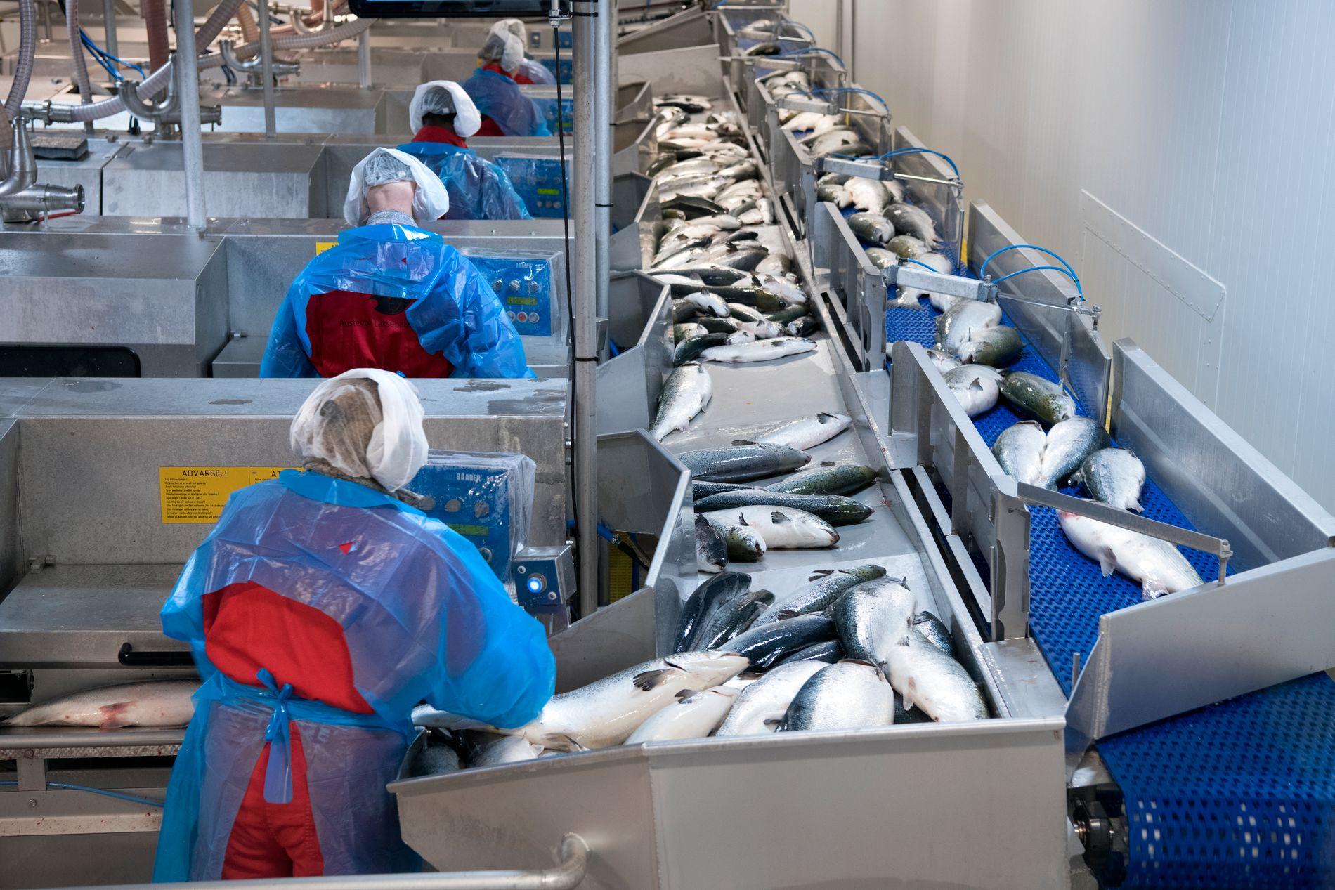 STOR ARBEIDSGIVER: Oppdrettsnæringen sysselsetter i dag nær 34.000 personer, hvis en tar med både havbruket, slakteriene og leverandørindustrien, skriver innsenderne. Her på Austevoll Laksepakkeri er det rundt 150 ansatte.