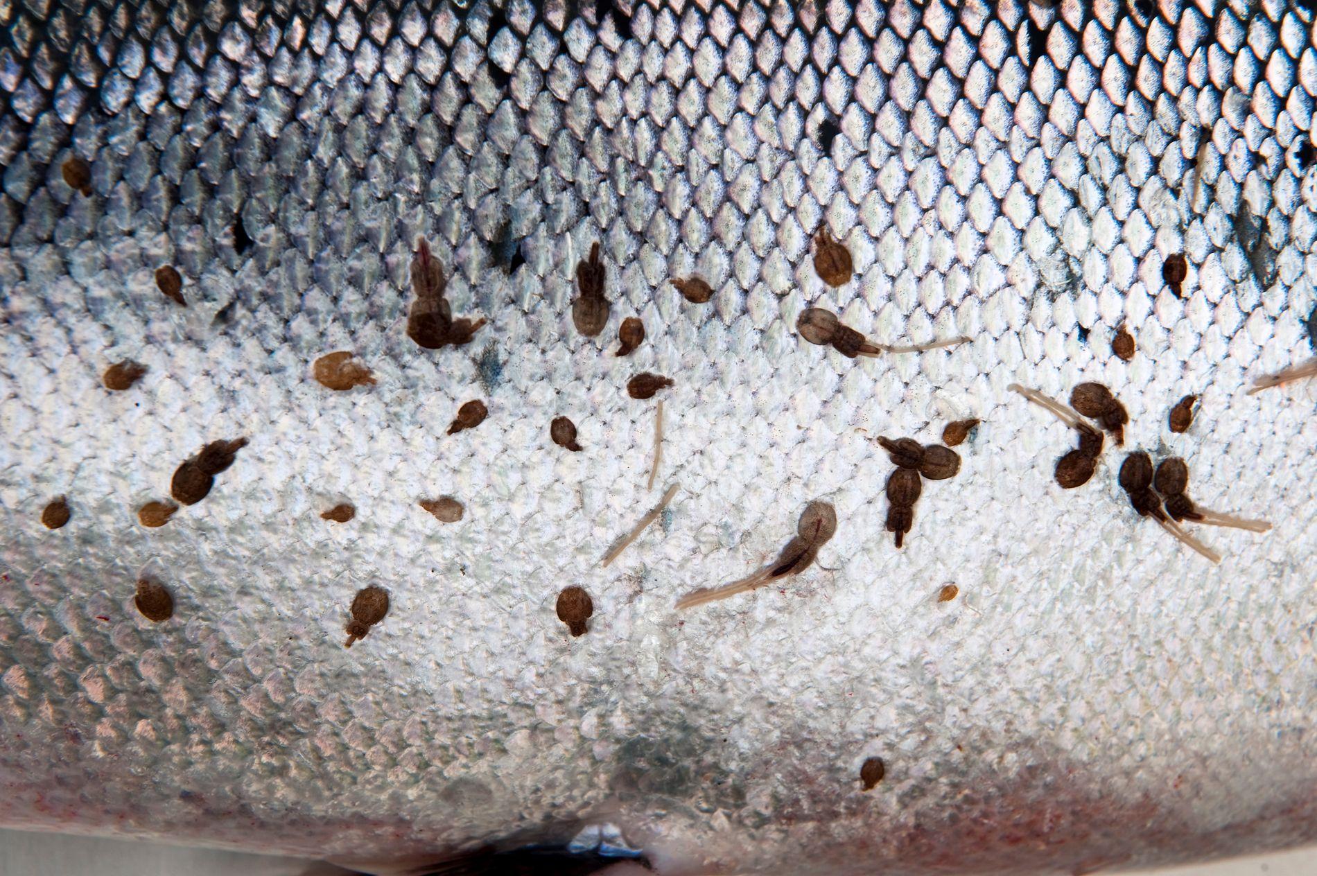 DREPER: Det er mer lus på vill laksefisk i områder med oppdrett. I enkelte områder er det så mye lus at det er høy risiko for at en stor andel av villfisken dør på grunn av lakselus, skriver Karin Kroon Boxaspen.