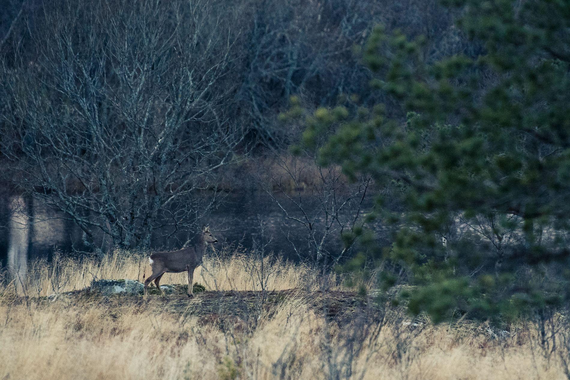 MANGE DYR: Det er ikke uvanlig å se 40 velholdte rådyr på en dag med jakt i Nærøy.