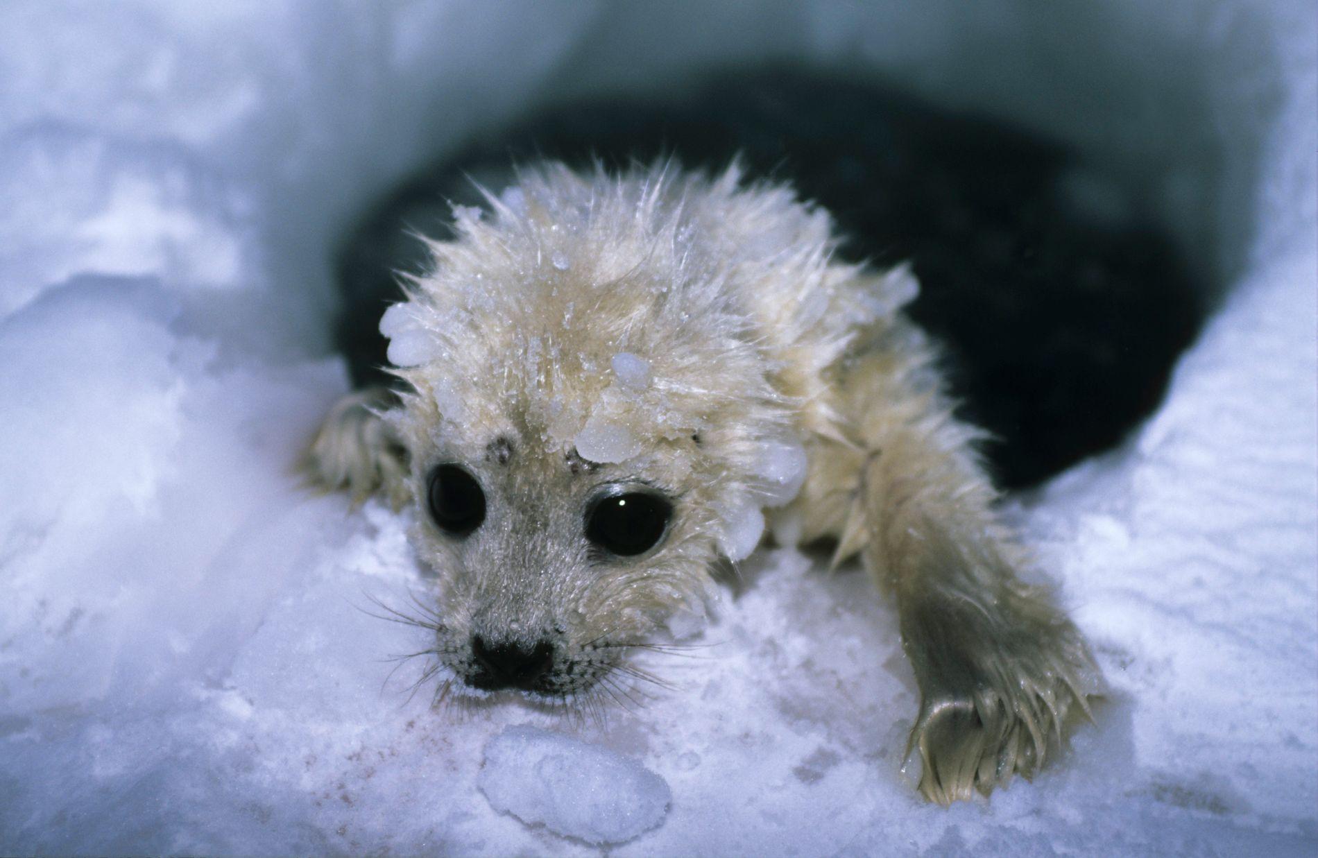 FINSTEMT SAMSPEL: Vert det mindre is rundt Svalbard, vert det vanskelegare for ringsel å formeire seg. Ringsel er isbjørnens viktigaste føde, og det vert mindre mat til isbjørnen, skriv Bård Vegar Solhjell.