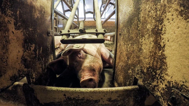 DYR LIDER: Brennpunkt-dokumentaren «Griseindustriens hemmeligheter» avdekker en lang rekke lovbrudd blant norske svinebønder.