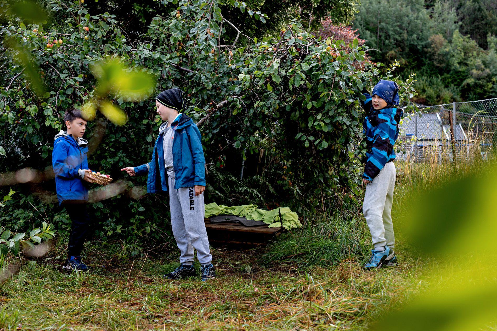 GØY: Niåringane Benjamin, Bjørnar og Jonas er mellom dei ivrigaste hageentusiastane. – Det er gøy med skulehage, seier Jonas, medan han plukkar plommer frå det bugnande treet.