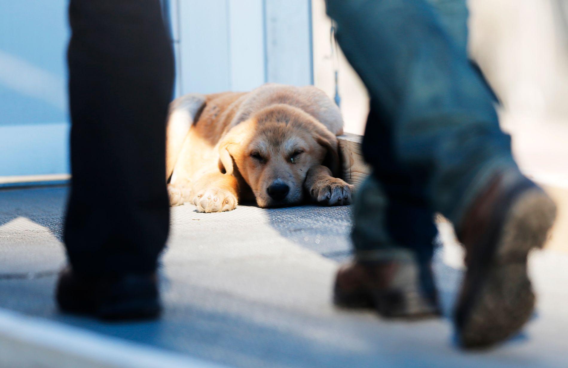 IMPORTSTOPP: Mattilsynet ønsker å stoppe import av gatehunder til Norge. Nå strammes regelverket kraftig inn.
