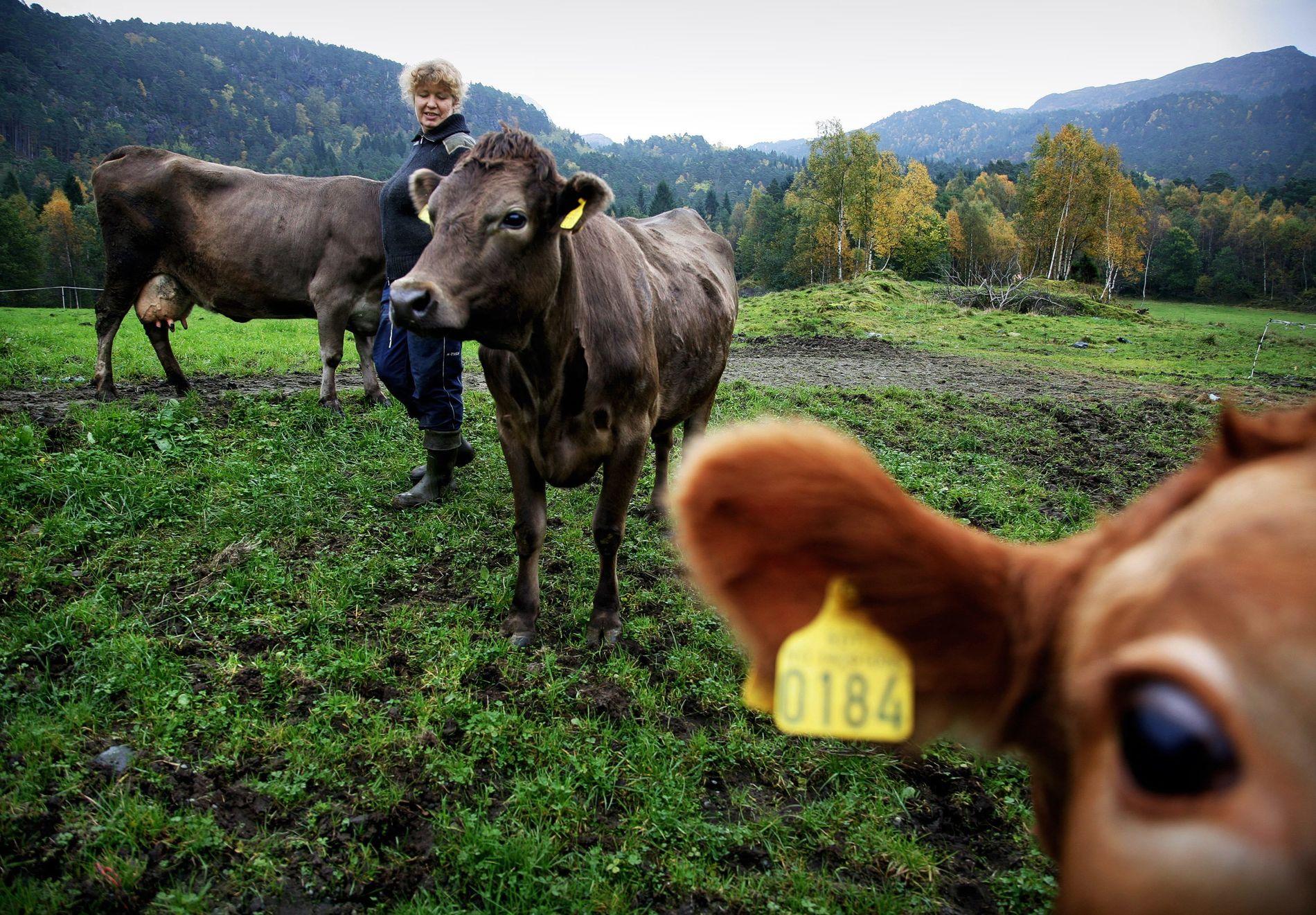 MILJØBYRDE: Å avstå fra kjøtt og meieriprodukter er den mest effektive måten å begrense den enkeltes klimaavtrykk på, ifølge forskere. Dessuten fremmer en kjøttfri diett både helse og dyrevelferd.