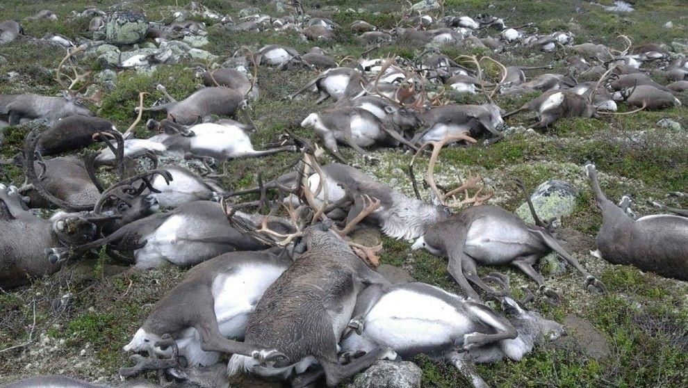 DØDE: De døde reinsdyrene ble funnet på Hardangervidda mellom Møsvatn og Kalhovd i Telemark.