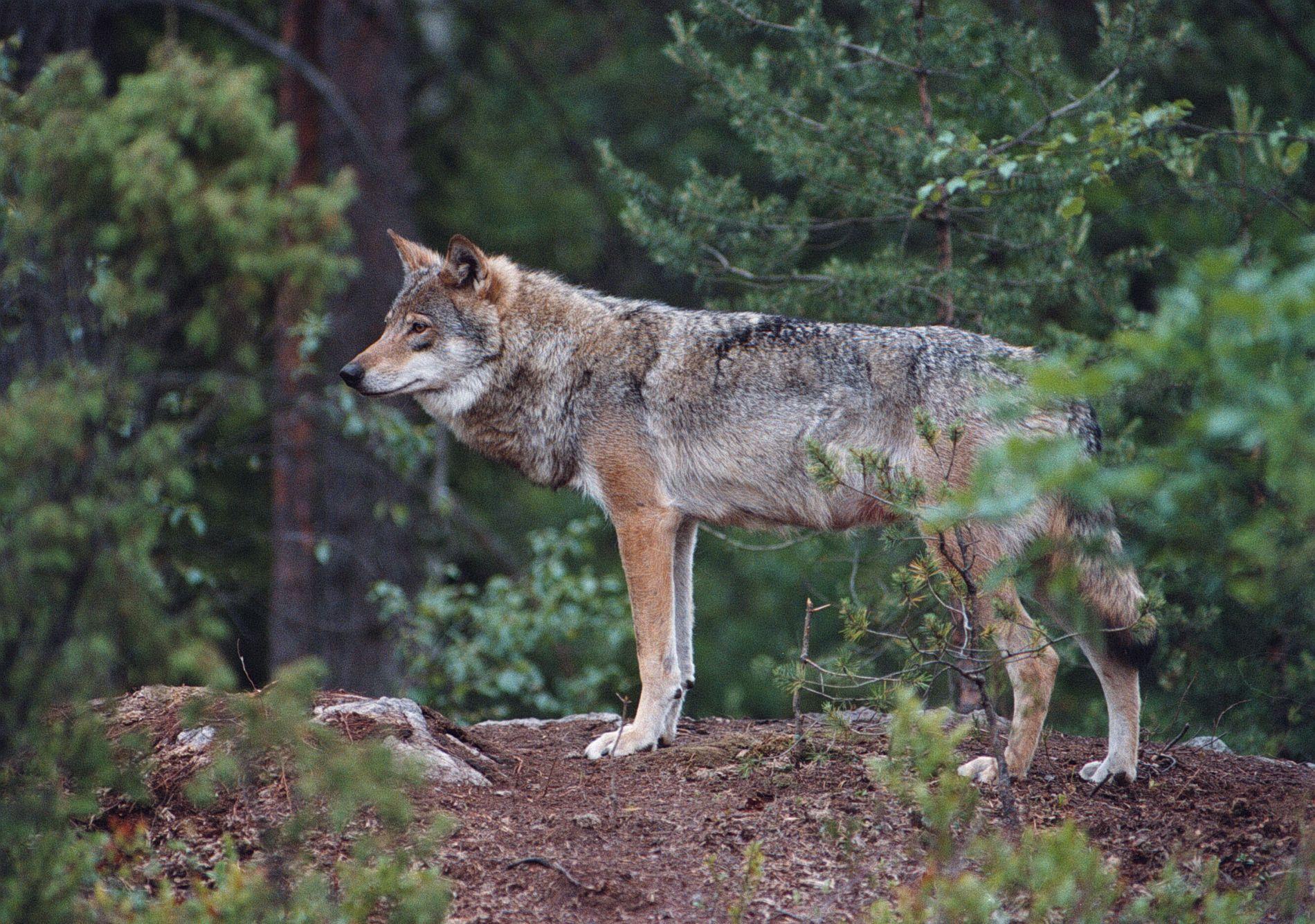 ULV SKAPER DEBATT: Motstanderne hevder at ulven truer norsk landbruk og skaper frykt. Tilhengerne av ulv betrakter ulven som en naturlig del av norsk fauna som har krav på beskyttelse.