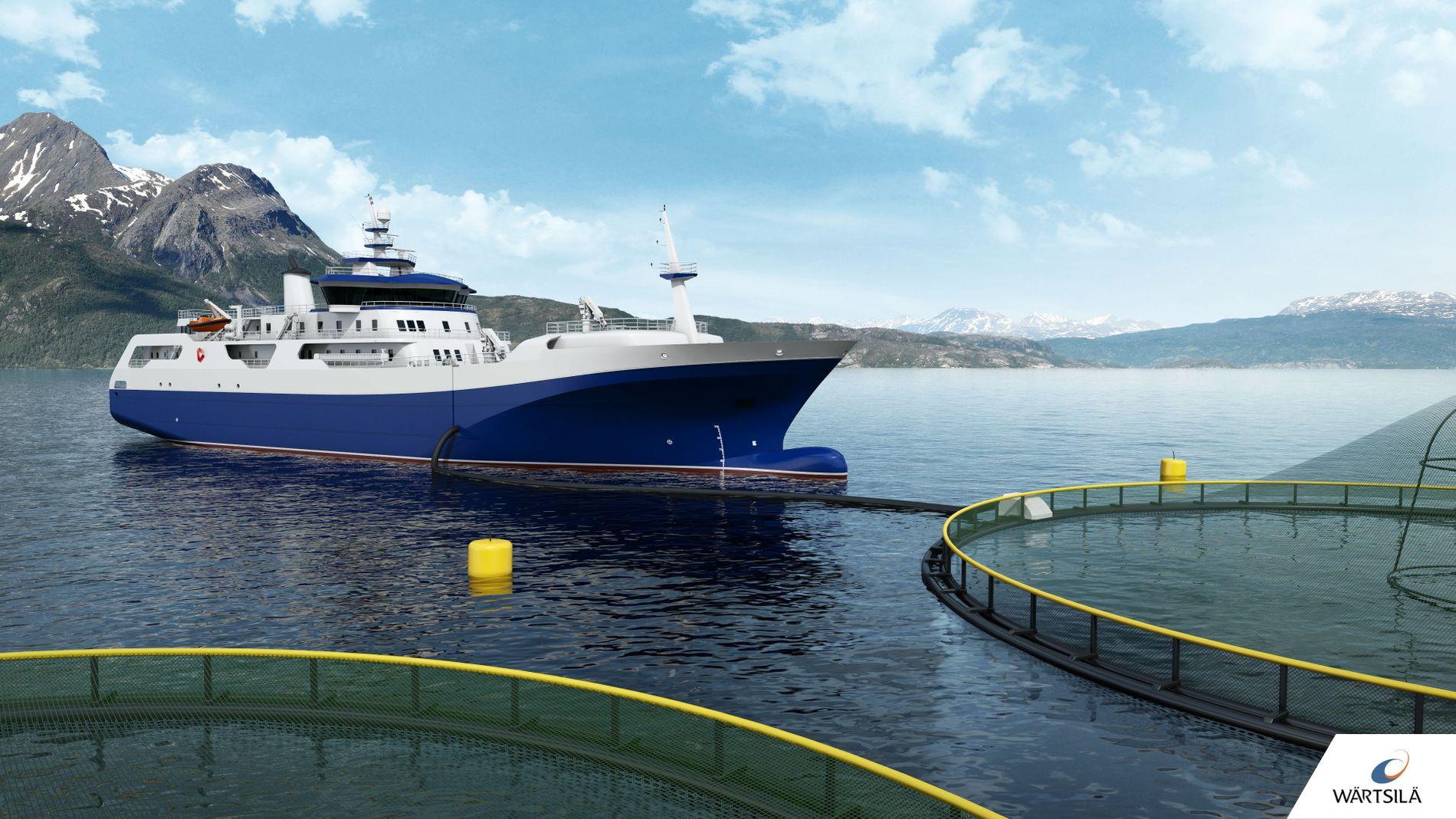 DIREKTE RUTE: Hav Line driver slaktebåten «Norwegian Gannet», som frakter laksen direkte fra merdene i Norge til Danmark. Der pakkes og sendes den ut i markedene. Bløgging og sløying skjer om bord på båten, skriver innsender.